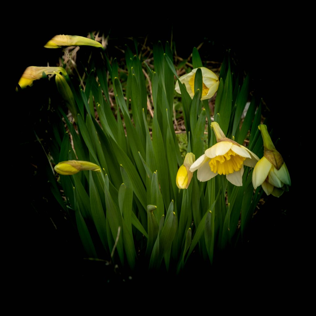A clump of daffodils surrounded by a black vignette.