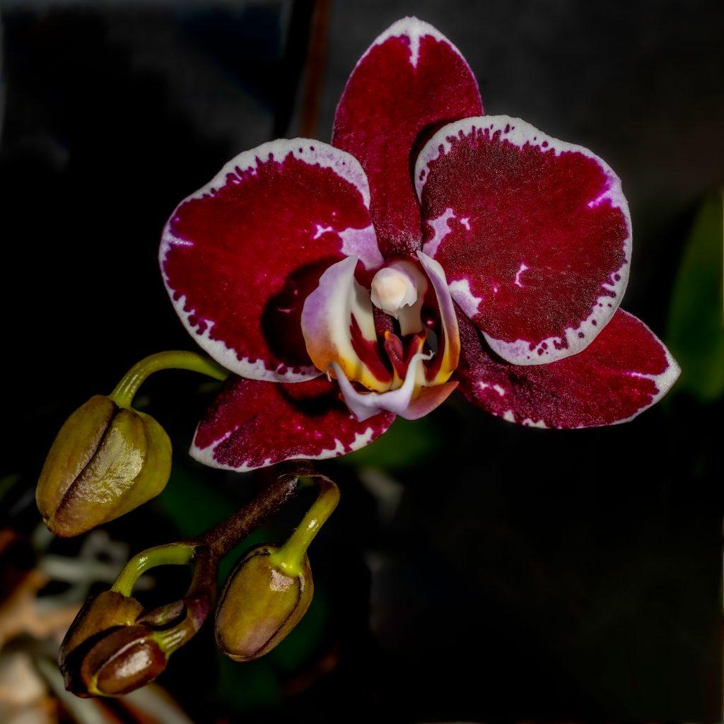 A Purple Phalaenopsis Orchid