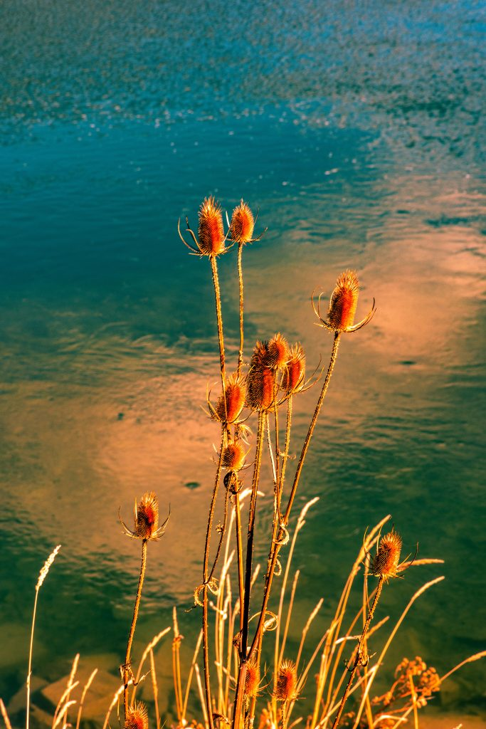 Teasels with the Flathead River as a backdrop