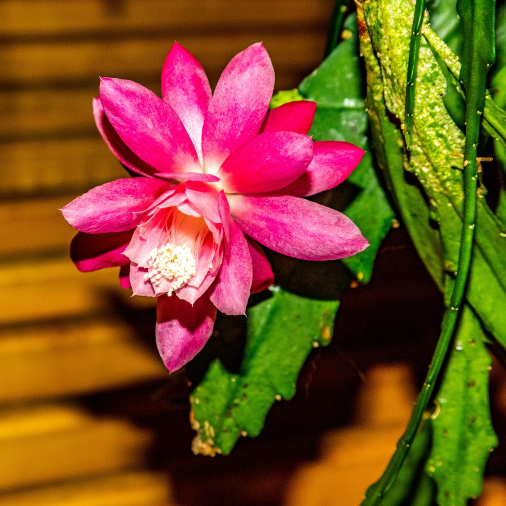 Pink Orchid Cactus Blossom