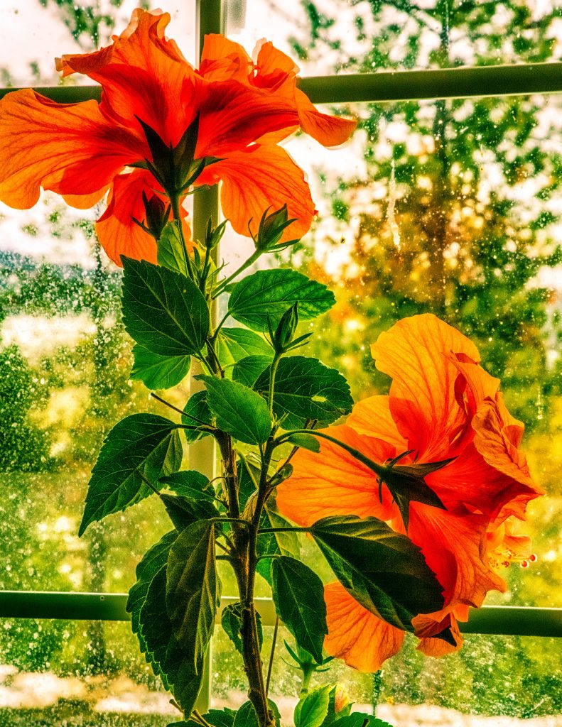 An orange colored hibiscus with two blossoms