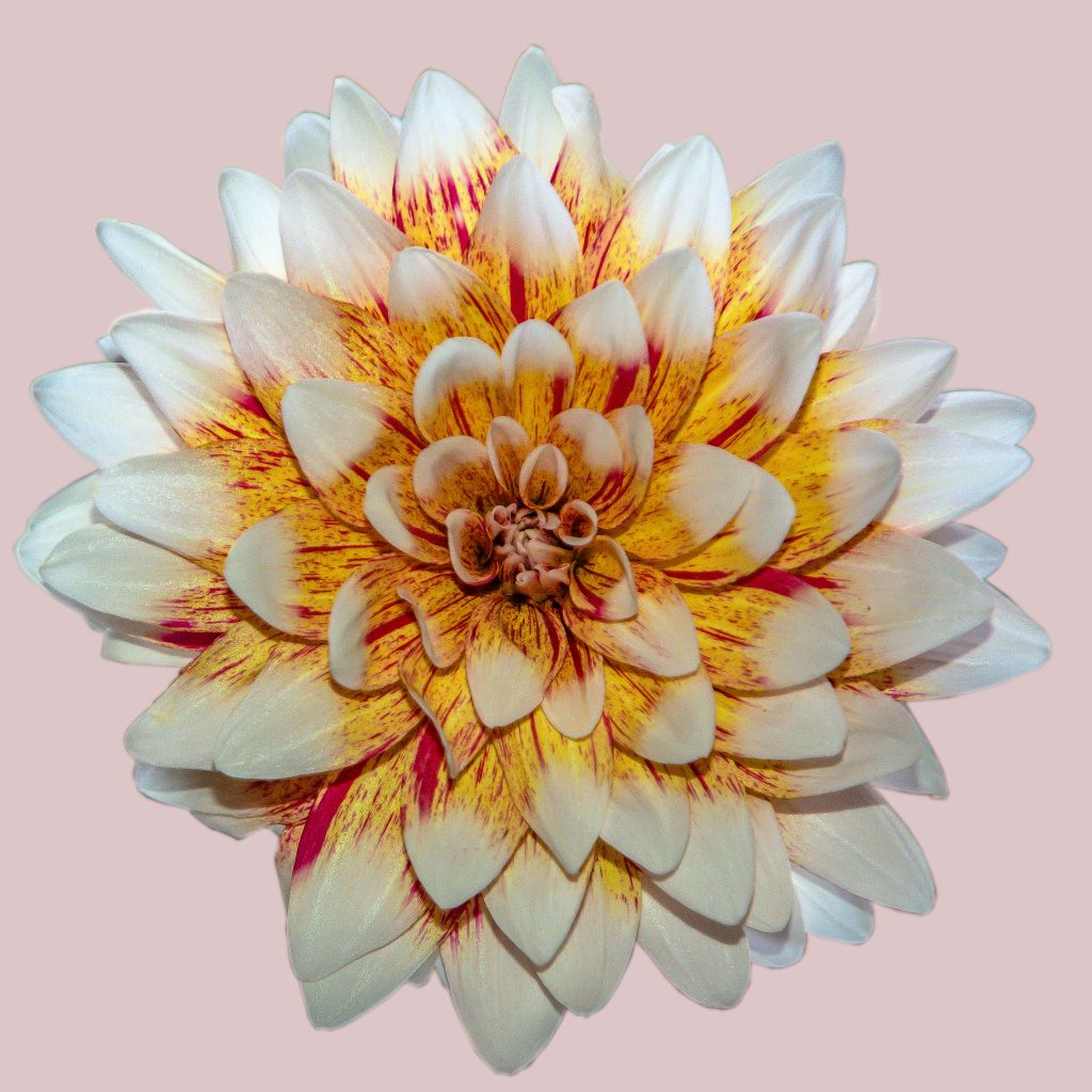 A dinner-plate dahlia blossom isolated on a pink background