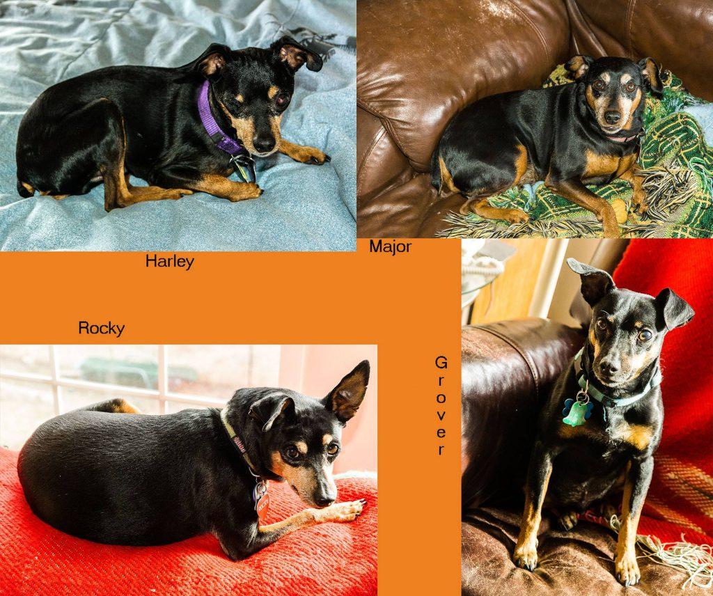 Four individual photos of male MinPin (Miniature Pinscher) dogs  Four More MinPins