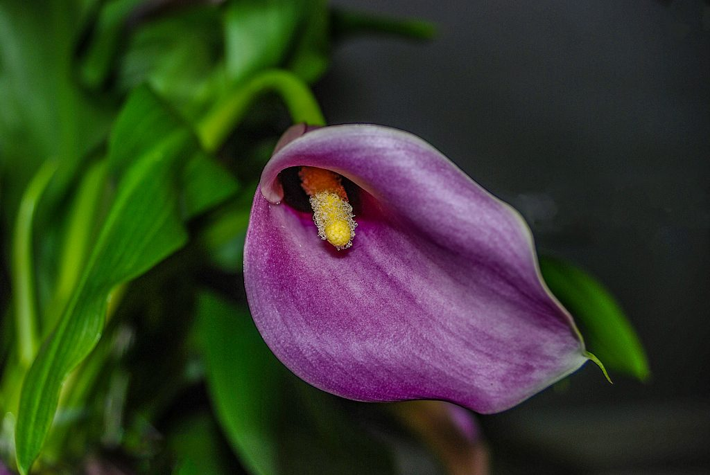 a purple calla lilly blossom