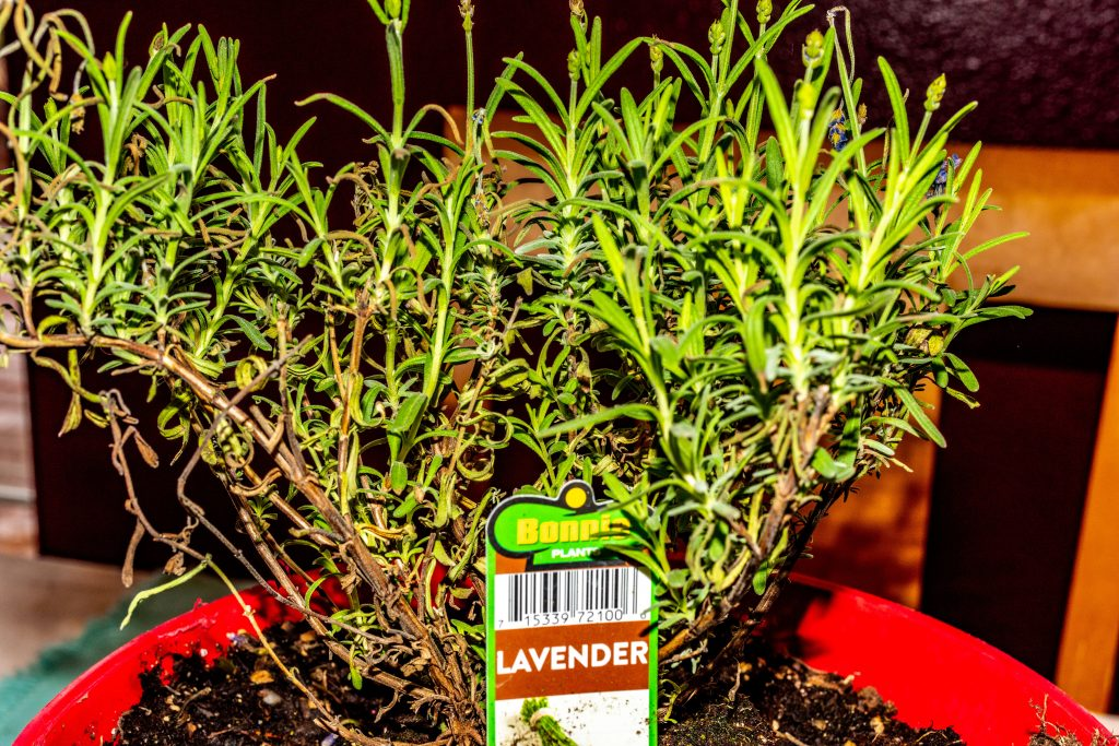 A lavender plant in a red pot