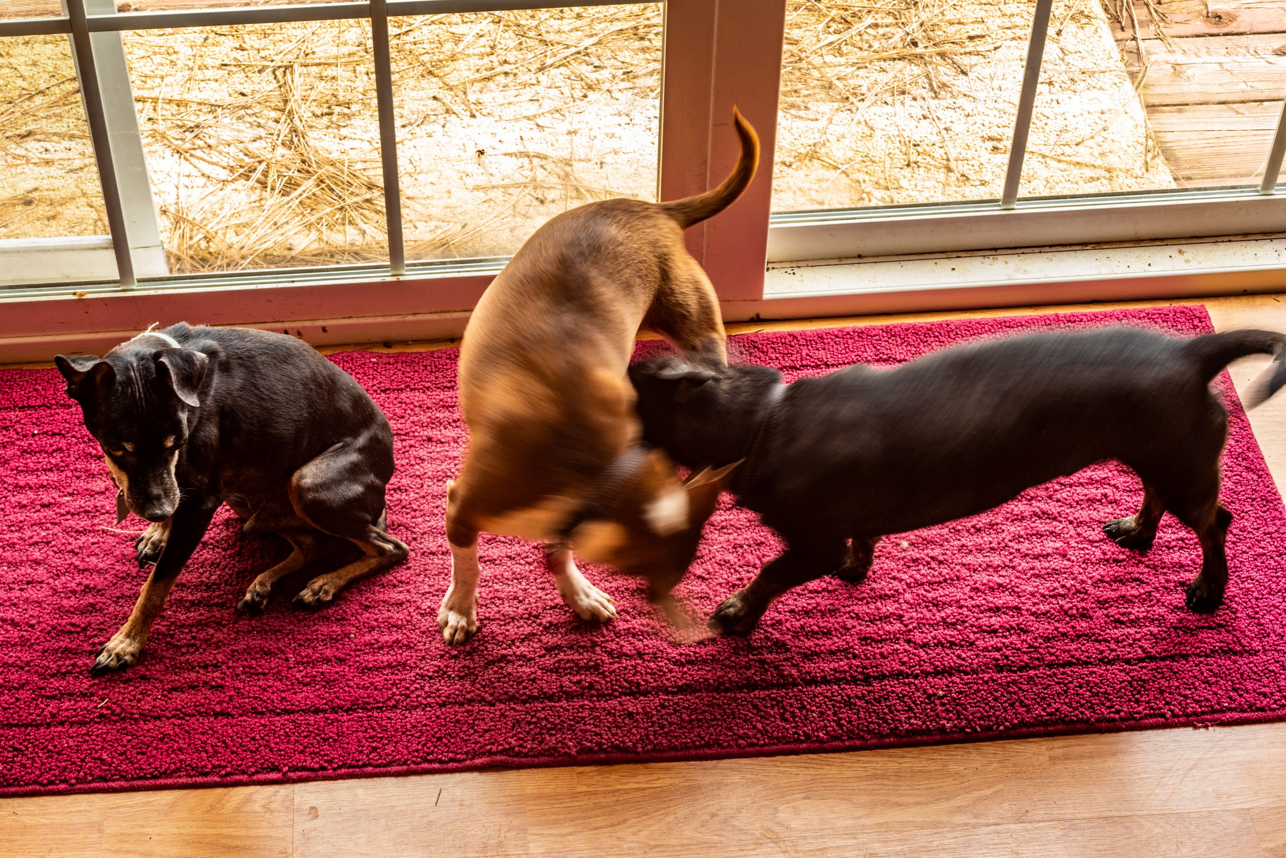 Having Three Dogs at Home