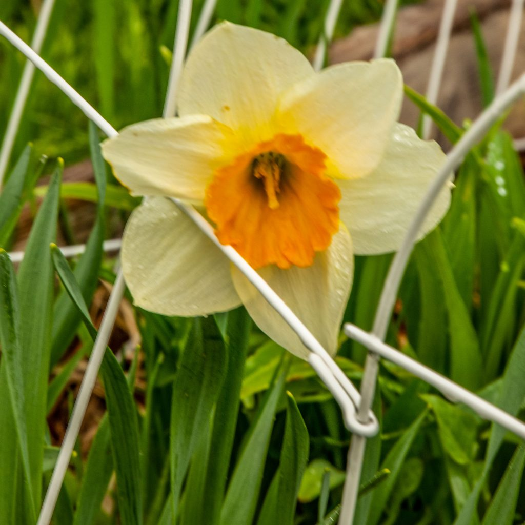 """A """"normally"""" exposed daffodil"""