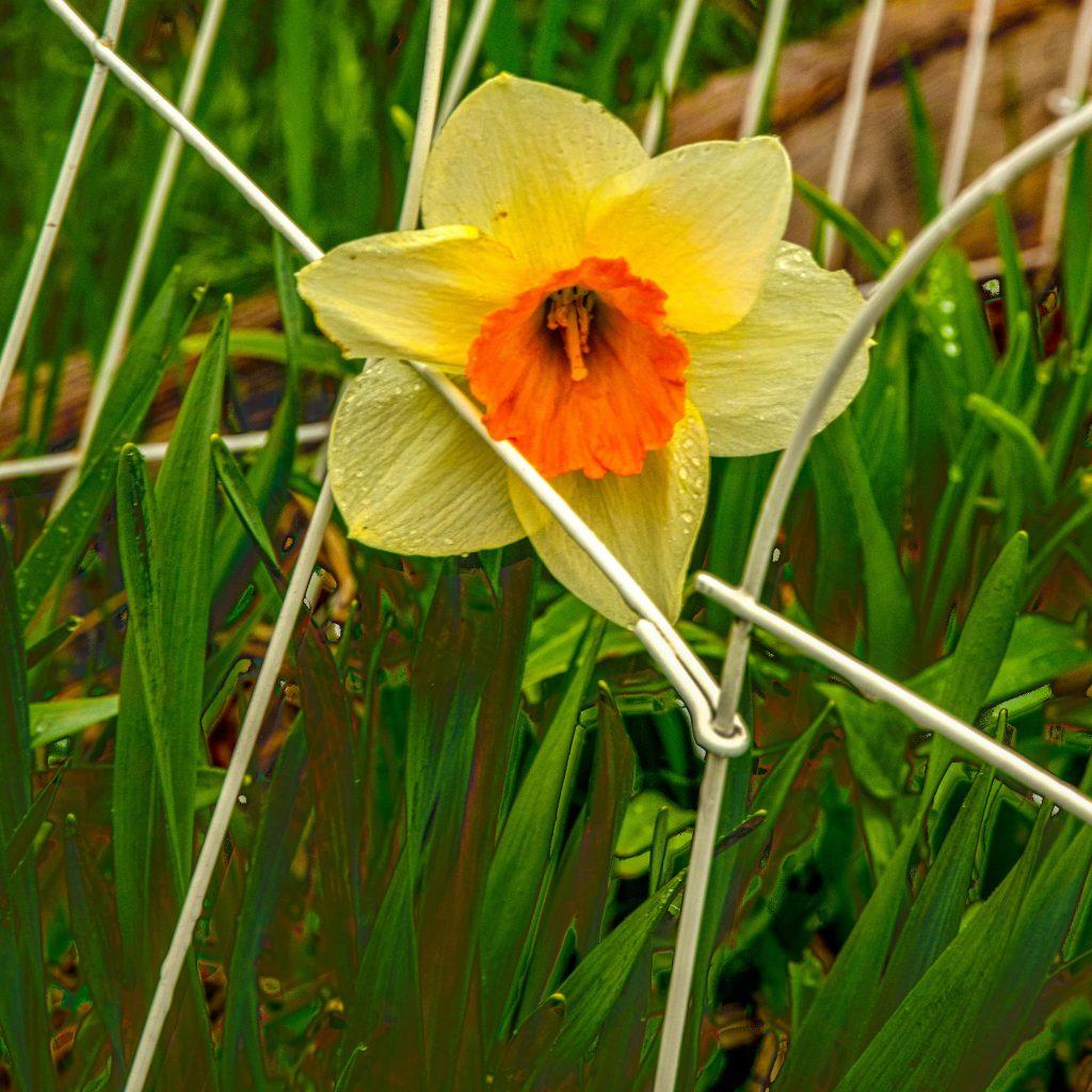 An HDR image of a daffodil--bracketing like Poppa Never Did