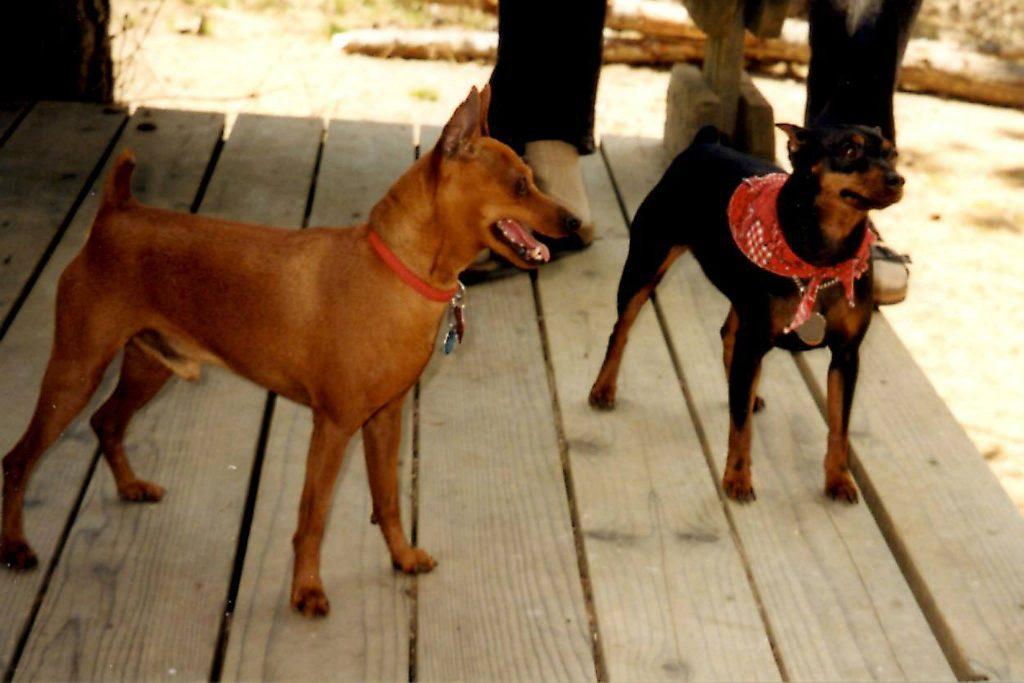Two MinPin (Miniature Pinscher) dogs