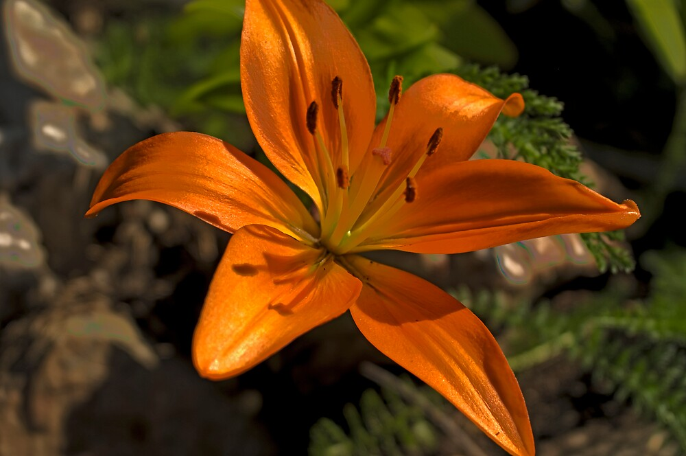 An orange day lily-perfect for a trip to Canada