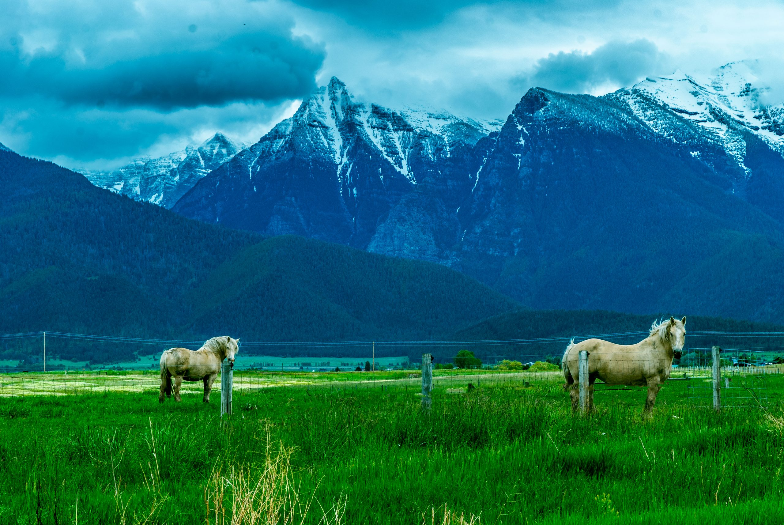 American Cream Draft Horses in a field before the Mission Mountains