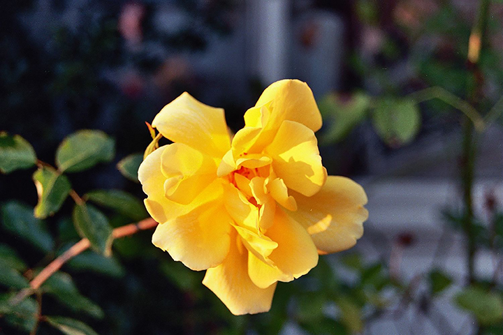 A yellow rose from my father's gardens, a memory of Happy Days to tie in with the post's theme, Happy Days Are Here Again