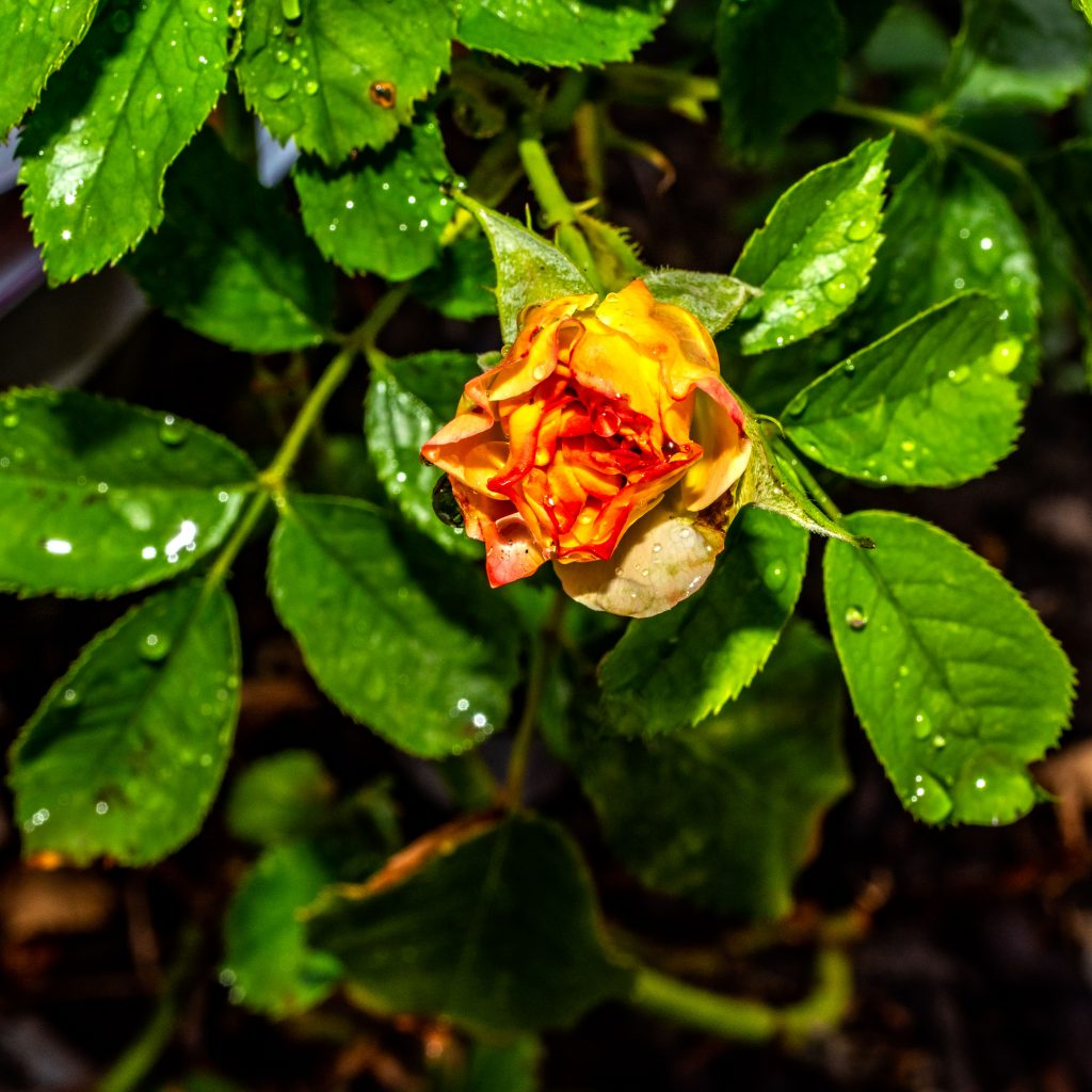 A yellow rose just beginning to open.