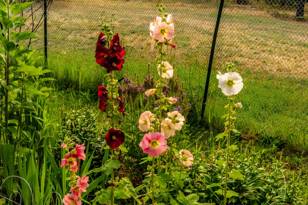 A flower bed with several different colored hollyhocks.
