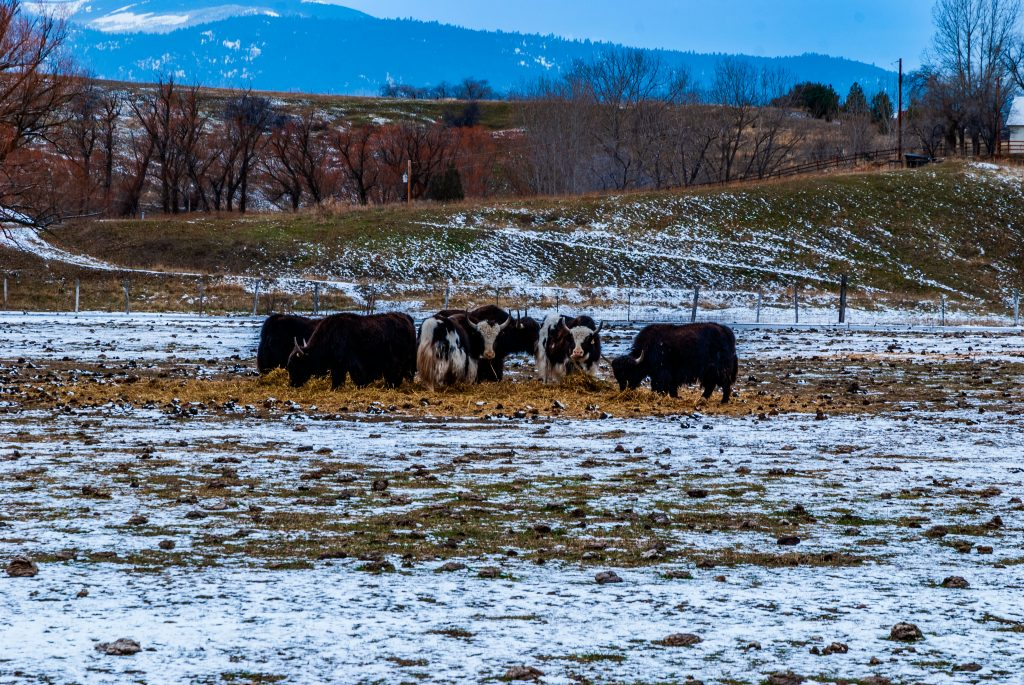 Yaks in a field near Dixon Montana during the third week in December 2011.  The link takes you to my RedBubble sales gallery.