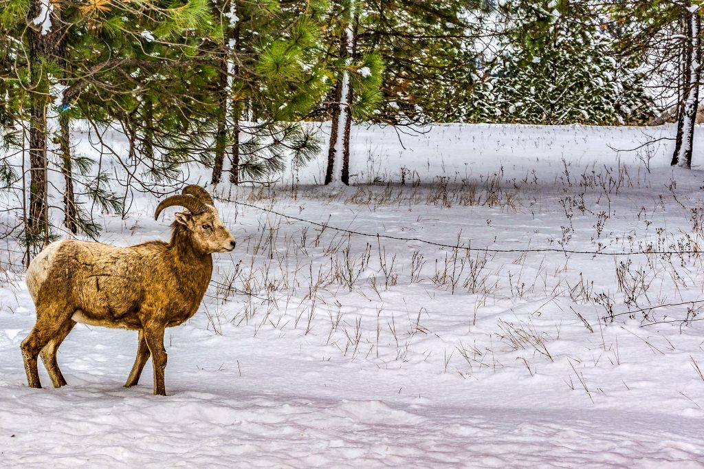 Rocky Mountain Big Horn Sheep taken during the third week in December.  Link takes you to my RedBubble sales gallery.
