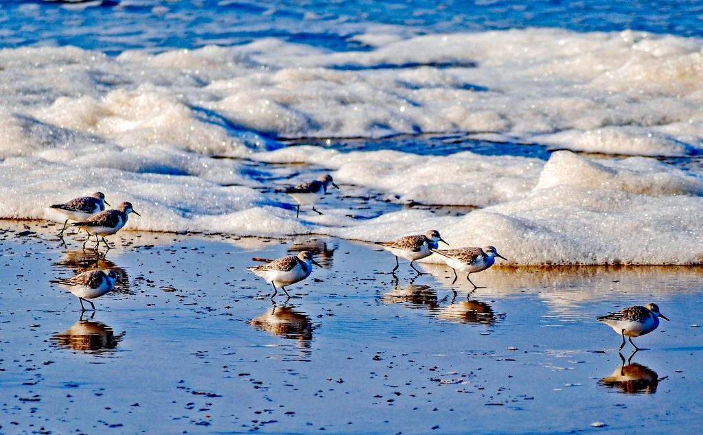 Sanderlings and surf:  shore birds feeding in the surf at Winchester Bay, Oregon.