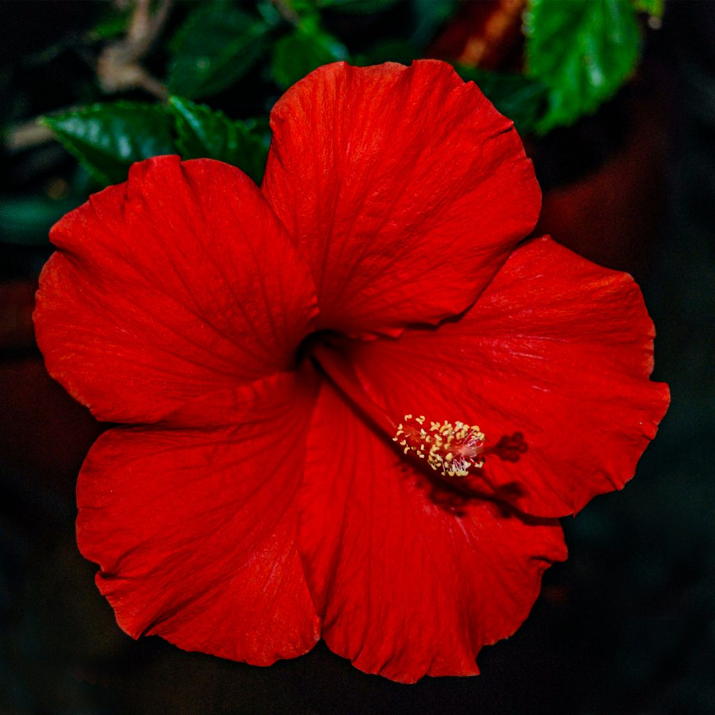 A bright red hibiscus blossom for Christmas Eve.  Photography from the fourth week in December.   Link takes you to my RedBubble sales gallery.