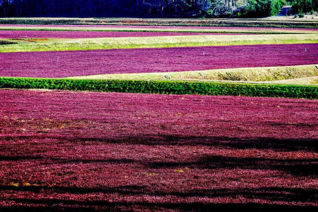 Cranberry Bogs, Coos County, Oregon.  Link takes you to my RedBubble sales gallery.