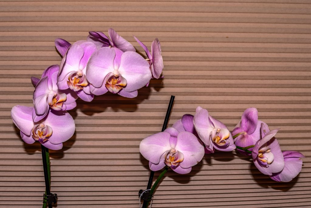 """My neweset pale lavendar orchid (phalaenopsis).  This has nothing to do with low-carb """"pasta"""" but I thought it was pretty.  Link takes you to my RedBubble sales gallery."""