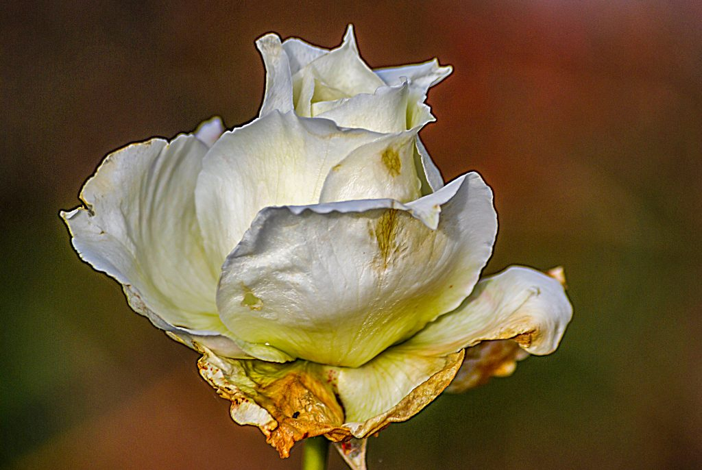 A white rose showing signs of decay, but taken outdoors in January.  Link takes you to my RedBubble sales gallery.  Photography from the first week in January.
