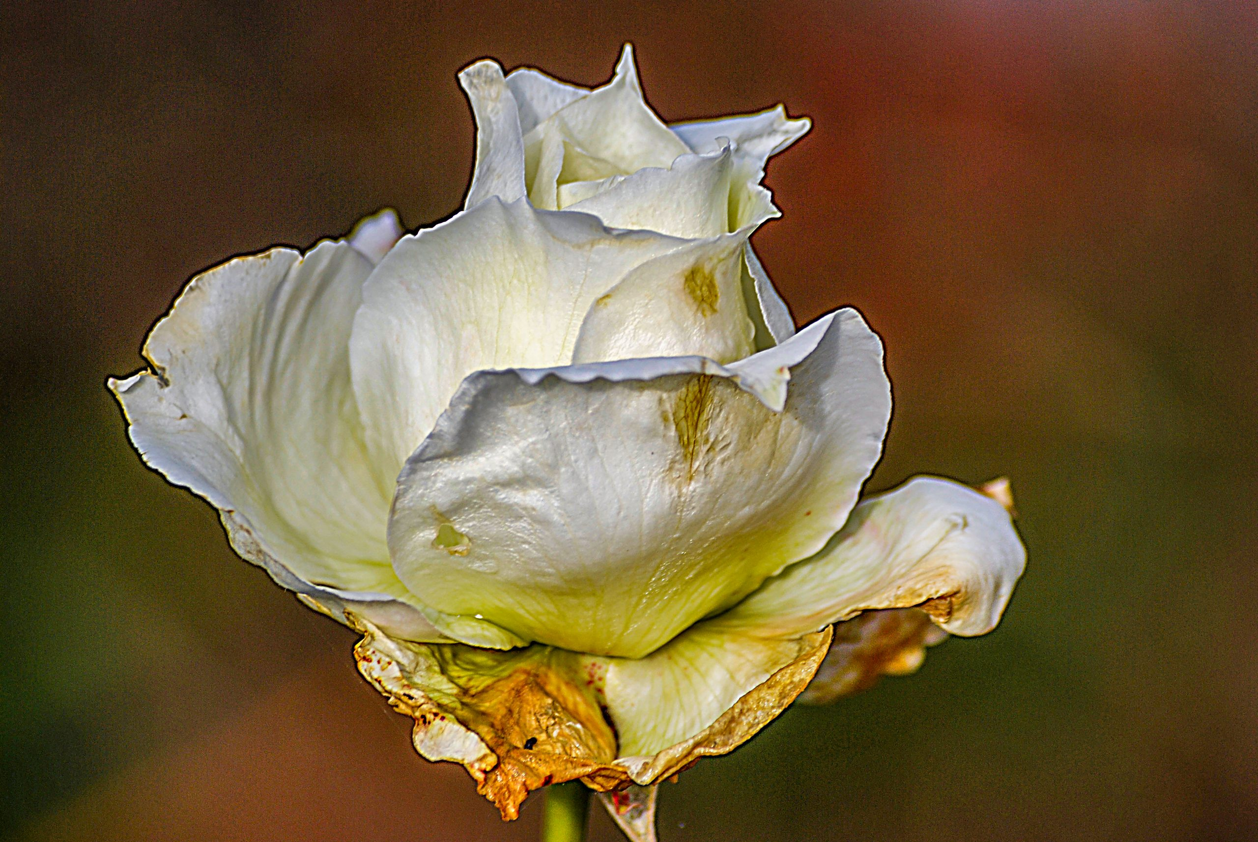 A fading white rose from January 2007