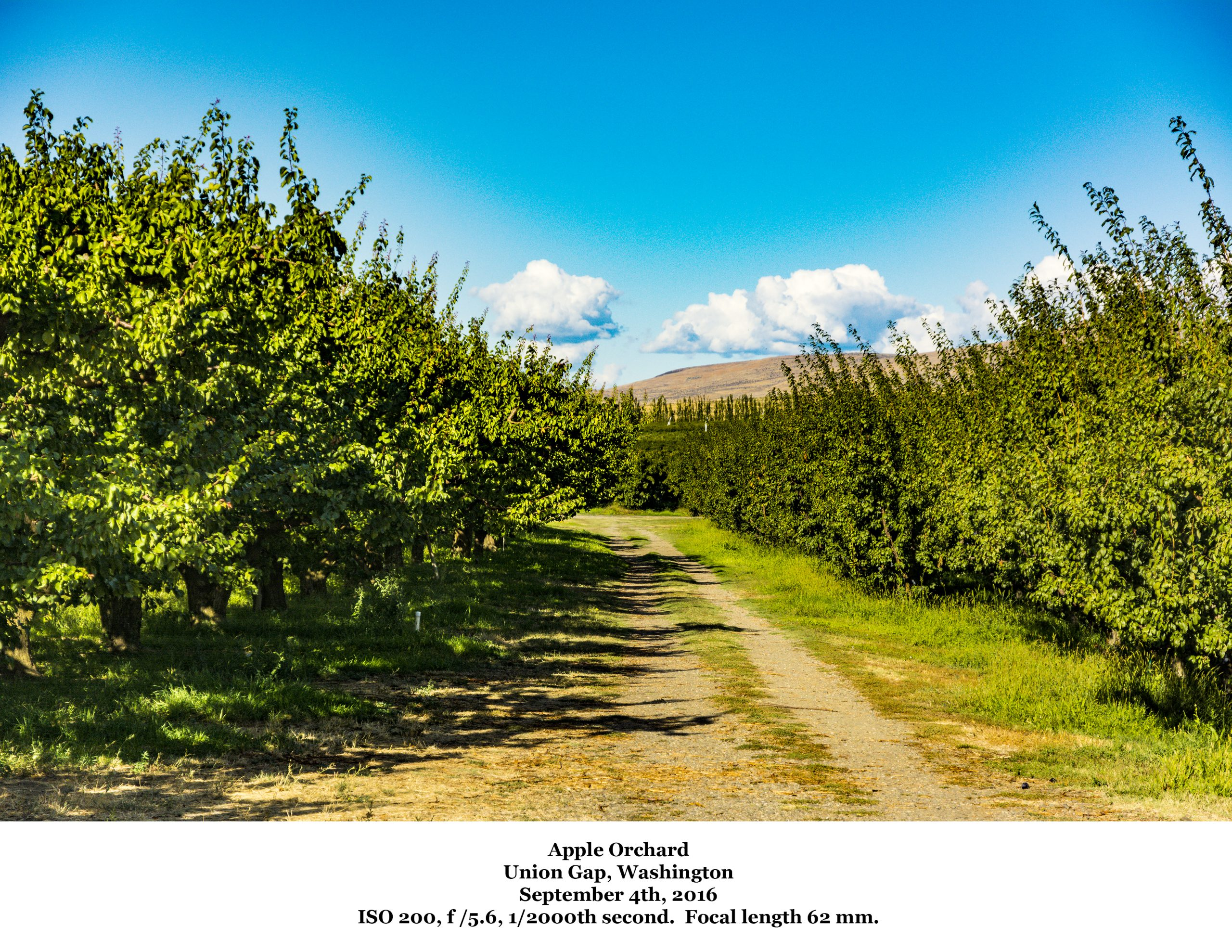 Apple orchards in the Yakima Valley